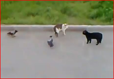 FRIDEO – Epic Crow vs. Cat vs. Other Cat Fight!